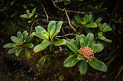 Kanawao (Broussaisia arguta) found along the Pihea Trail near the Alakai Swamp Trail intersection in the Alakai Wilderness Preserve on the island of Kauai in Hawaii.