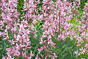 Garden of pink flowers. Lyndale Park Peace Garden Minneapolis Minnesota USA