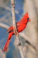 A Red Bird, The Northern Cardinal Male Watching Warily With Crest Raised High, Cardinalis cardinalis