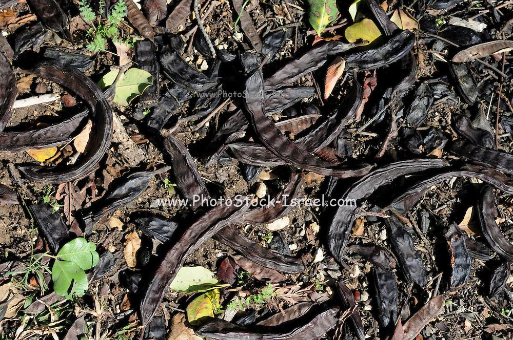 Carob seed pods (Ceratonia siliqua) on the ground under a carob tree