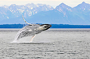Humpback Whale Breeching, Icy Strait, Alaska, Icy Strait, Alaska