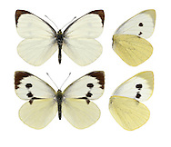 Large White - Pieris brassicae. Male (top) - female (bottom). Wingspan 60mm. As its name suggests, this the largest British 'white' butterfly. Adult upperwings are creamy-white with black tip to forewing; female has additional two spots on forewing. Underwings are yellowish. Adult flies May–September. Larva is black and yellow and feeds on cabbages and related plants; usually found in groups. Common and widespread, and often seen in the garden.