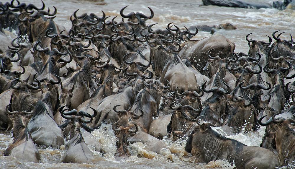 Wildebeests crossing the Mara River, Kenya, in July 2013.