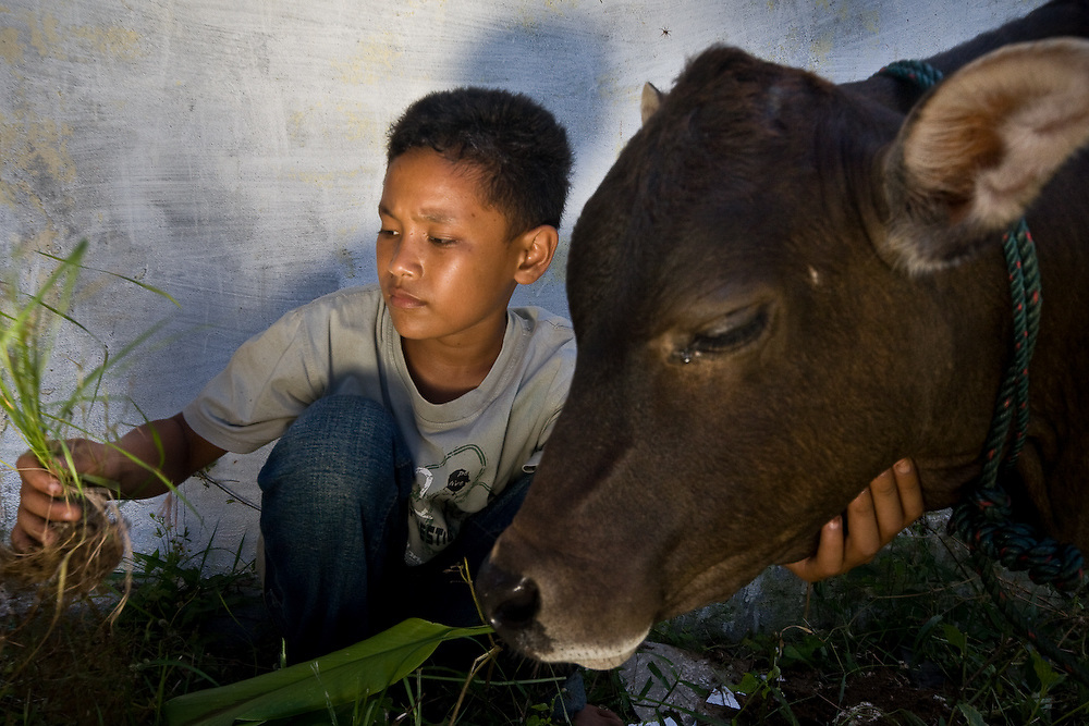 Kuala Trang Village near Meulaboh - Aceh, Indonesia  Nov. 2008. (Heifer Participant) Ayun feeds his grandfathers calf. The community gave the calf to his grandfather with the understanding that the proceeds would pay for Ayun's schooling as both of his parents were killed in the Tsunami.  Ayun himself could not own the cow directly because he lost all his identiy papers in the Tsunami and is too young. Ayun is bringing the calf to give to another family at a passing on the gift ceremony.