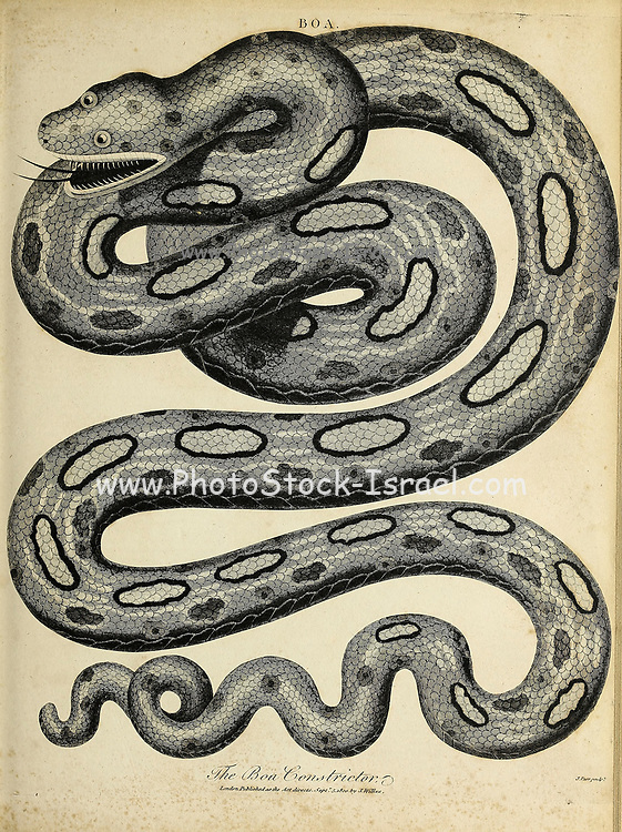 The boa constrictor (Boa constrictor), also called the red-tailed boa or the common boa, is a species of large, non-venomous, heavy-bodied snake that is frequently kept and bred in captivity. The boa constrictor is a member of the family Boidae, found in tropical South America, as well as some islands in the Caribbean. A staple of private collections and public displays, its color pattern is highly variable yet distinctive Copperplate engraving From the Encyclopaedia Londinensis or, Universal dictionary of arts, sciences, and literature; Volume III;  Edited by Wilkes, John. Published in London in 1810