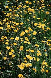 Dandelions in meadow field in the Pyrenees,