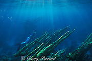 marine biologist examines forest of elkhorn coral, <br /> Acropora palmata, <br /> ( giant branches are no longer found like this ),<br /> Rum Cay, Bahamas ( Western Atlantic Ocean )