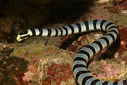 Banded Sea Krait (Snake) - deadly poisonous bite.(Laitcauda colubrine).Lembeh Straits, Indonesia