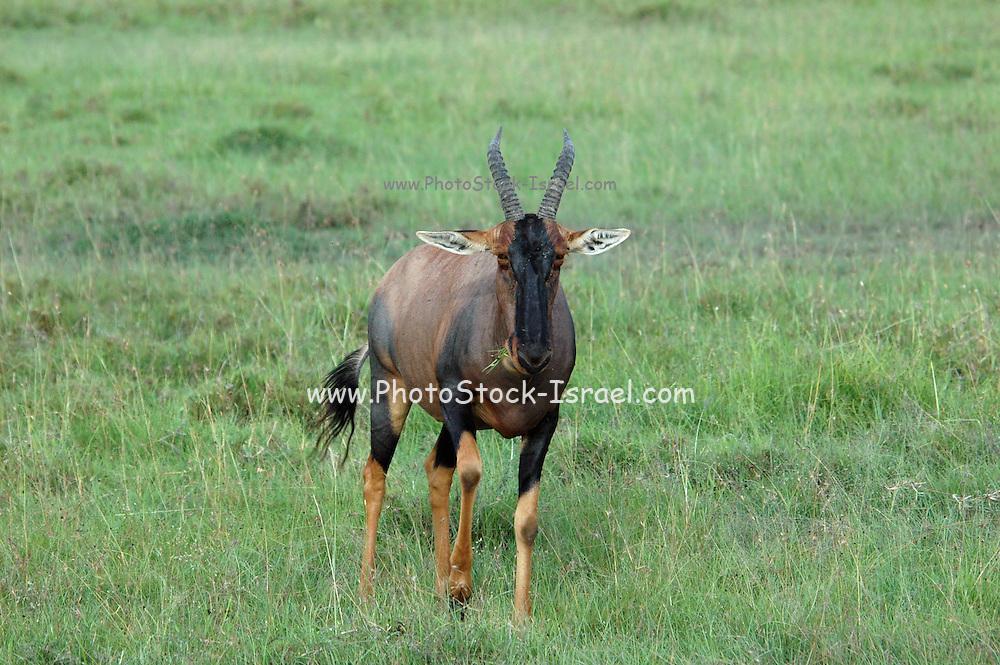 Kenya, Masai Mara, Topi (Damaliscus lunatus) front view