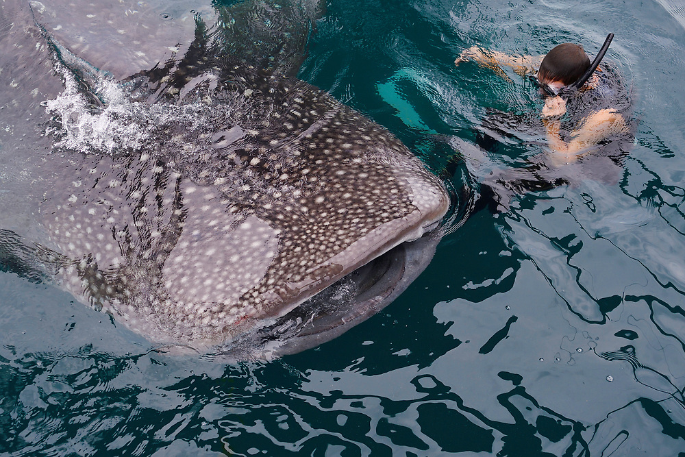 """Whale shark swimming ecotourism (Rhincodon typus) near a Fishing platform, Bitsyara Bay, Mainland New Guinea, Western Papua, Indonesian controlled New Guinea, on the Science et Images """"Expedition Papua, in the footsteps of Wallace"""", by Iris Foundation"""