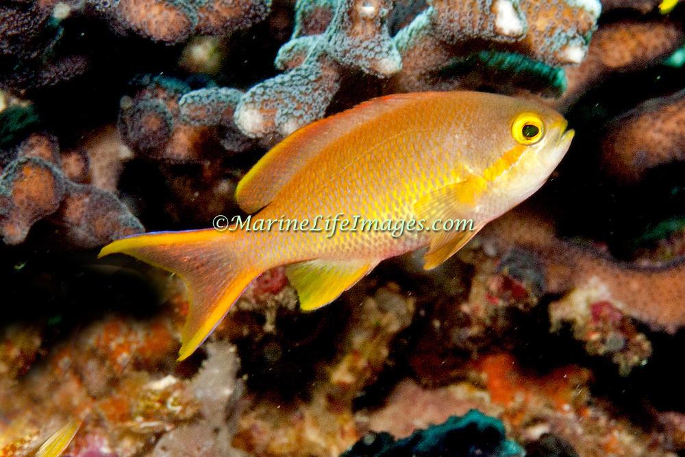 Threadfin Anthias inhabit reefs. Picture taken Lembeh Straits, Sulawesi, Indonesia.