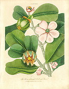 Clusia The Rose Coloured Balsam Tree which produces spices and perfumes Handcolored copperplate engraving From the Encyclopaedia Londinensis or, Universal dictionary of arts, sciences, and literature; Volume IV;  Edited by Wilkes, John. Published in London in 1810