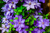Flowers (clematis) in a garden, Littleton, Colorado USA.