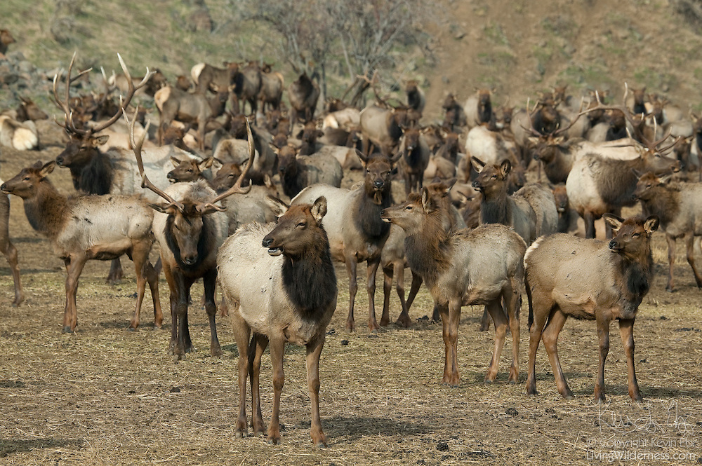 Thousands of elk gather for their afternoon feeding at the Oak Creek Wildlife Area, west of Yakima, Washington. The wildlife area was established to give the Rocky Mountain Elk a place to spend the winter and keep them from feasting on farmers' fields.
