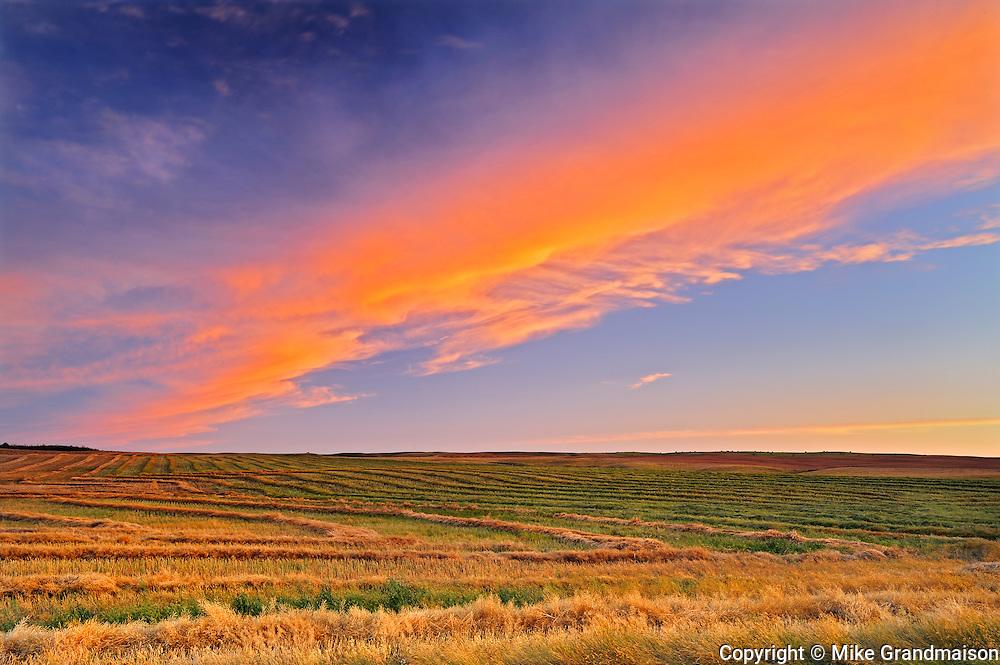 Canola crop at sunset<br /> Braddock<br /> Saskatchewan<br /> Canada