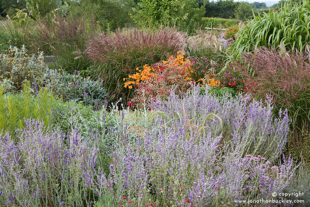 Autumn borders of perovskia, miscanthus and crocosmia at Marchants
