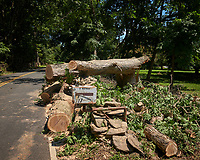 Tropical Storm Isaias Aftermath Day 2 -- Post Tree Clearing. East Side Oak tree down on rock wall. Missed the mailbox. Image taken with a Leica CL camera and 18 mm f/2.8 lens