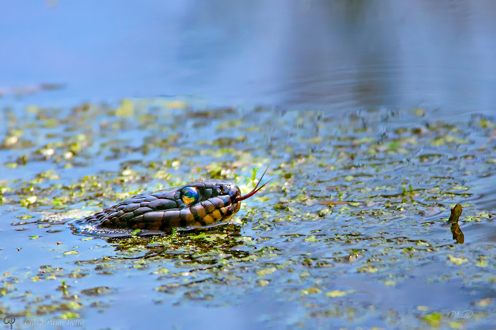 This Northern Water Snake (Nerodia sipedon) is hunting along the edges of a marsh in Great Meadows National Wildlife Refuge in Concord, Massachusetts. This a large, nonvenomous, common water snake native to North America and can grow up to 135 cm (4 ft 5 in) in total length. In the wild, adult females generally weigh between 158.9 and 408 g (5.61 and 14.39 oz) while the smaller male averages from 80.8 to 151 g (2.85 to 5.33 oz). The largest females can weigh up to 560 g (20 oz) while the largest males can weigh 370 g (13 oz). The coloration of the Northern Water Snake is quite variable (brown, gray, reddish, or brownish-black) and they darken with age. Some individuals, as shown here, can become almost completely black. The belly of this snake also varies in color including white, yellow, or gray - usually with reddish or black crescents.<br /> <br /> The Northern Water Snake is found throughout eastern and central North America, from southern Ontario and southern Quebec in the north, to Texas and Florida in the south.  They are active during the day and at night. During the day, they hunt among plants at the water's edge, looking for small fish, frogs, worms, leeches, crayfish, salamanders, small birds and mammals. At night, they concentrate on minnows and other small fish sleeping in shallow water. They hunt using both smell and sight.
