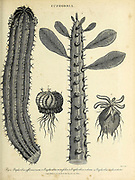 1. Euphorbia officinarum 2. Euphorbia neriifolia 3. Euphorbia volvox 4. Euphorbia melocostata Copperplate engraving From the Encyclopaedia Londinensis or, Universal dictionary of arts, sciences, and literature; Volume VII;  Edited by Wilkes, John. Published in London in 1810