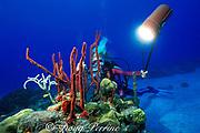diver and red rope sponges,<br /> Amphimedon compressa or Aplysina sp. <br /> St. Croix, U.S. Virgin Islands ( Caribbean Sea ) <br /> MR 103