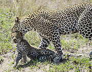 Female leopard (Panthera pardus) carries her cub in her mouth. Photographed at Serengeti National Park, Tanzania