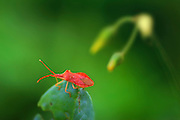 Red Bug on green