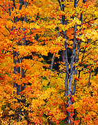 Autumn colors of Sugar Maples, Acer saccharum, along the shore of L'Anse Bay of Lake Superior, Upper Peninsula of Michigan.