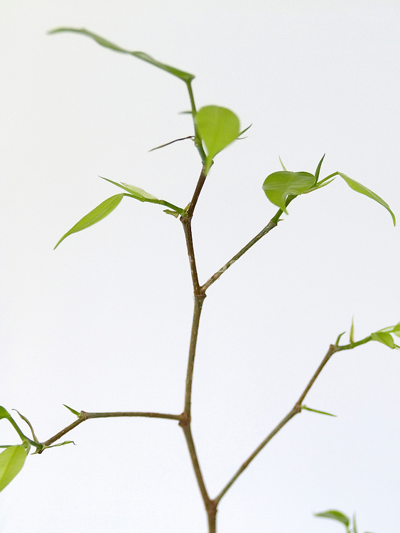 twig with fresh new green leaves