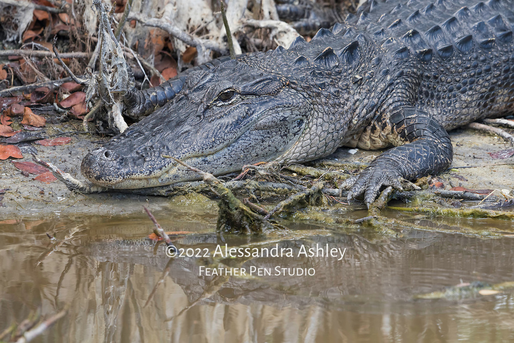 American alligator suns its head and shoulders at water's edge. Merritt Island NWR on Florida's Atlantic coast.