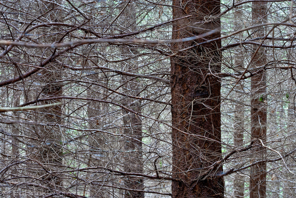 a tangle of branches in a Kitsap Peninsula forest in Puget Sound Washington state, USA  Fast growing conifers like these Douglas Fir lose the use of lower branches in a thickly growing temperate forest.