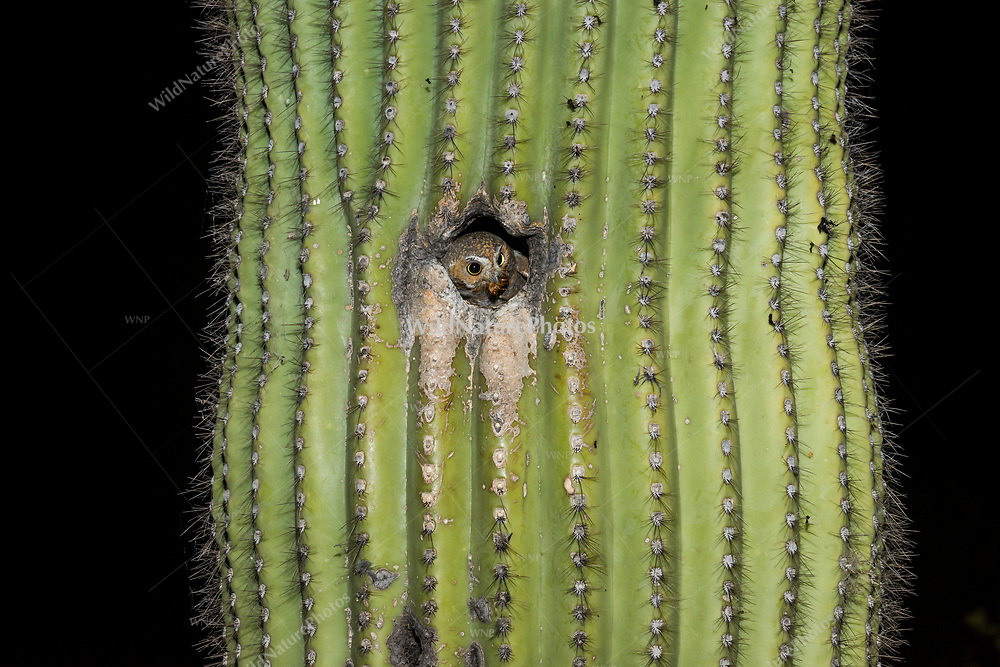 A Elf Owl (Micrathene whitneyi) looks out from her nest, after receiving a cockroach from her mate. (Tucson, Arizona)