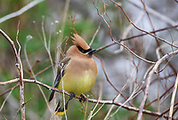 Cedar Waxwing (Bombycilla cedrorum) perched in a bush, French Basin trail, Annapolis Royal, Nova Scotia, Canada,