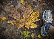 Fallen leaf, Scotts Valley, California