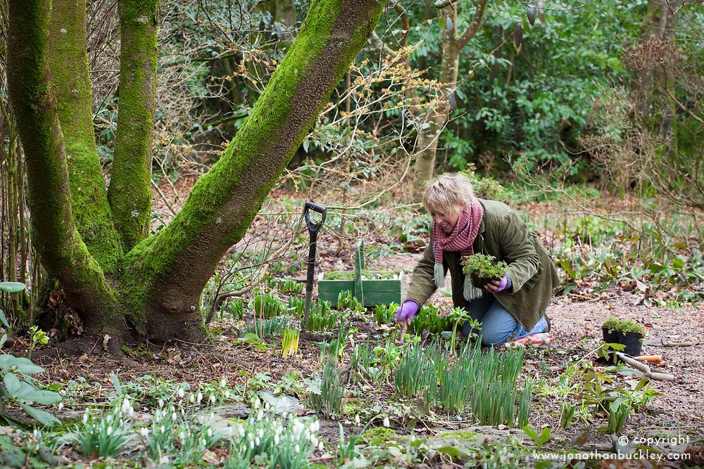 Carol Klein planting corydalis and primroses in the woodland garden