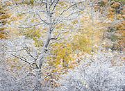 Autumn Aspen Tree Covered in Early Season Snow, Grand Targhee, Idaho