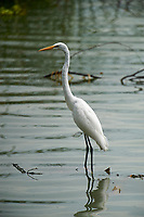 Great Egret (Ardea alba) at edge of Lake Chapala, Jalisco, Mexico