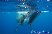 humpback whale, Megaptera novaeangliae, and snorkelers, Vava'u, Kingdom of Tonga, South Pacific, MR 497, 498