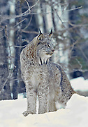 Canada lynx during winter in a snowy landscape