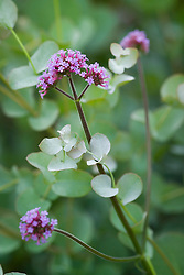 Verbena bonariensis with the young foliage of Eucalyptus gunnii in the Exotic Garden at Great Dixter. Cider Gum