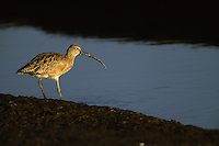 Long-billed curlew (Numenius americanus) by the water's edge.  Corte Madera Ecological Preserve, California.  Oct 2002.