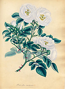 ROSA alba, semi-duplex. Semi-double White Rose From the book Roses, or, A monograph of the genus Rosa : containing coloured figures of all the known species and beautiful varieties, drawn, engraved, described, and coloured, from living plants. by Andrews, Henry Charles, Published in London : printed by R. Taylor and Co. ; 1805.