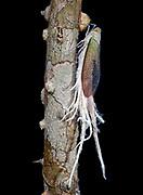 Wax-tailed planthopper, Pterodictya reticulata, from La Selva, Ecuador.