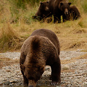 Alaskan Brown Bear, (Ursus middendorffi) Large male standing along river bank, drinking. Sow with cubs watch from nearby. Katmai National Park. Alaska.