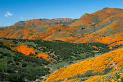A rainy winter brought an exceptional display of flowers now dubbed 'Super bloom 2019' in Southern California. The California poppies at Lake Elsinore in Walker Canyon give a spectacular show drawing huge crowds and causing people to pull along the freeway to take photos. The poppies covered the hillsides along I-15 in a jaw-dropped orange explosion.