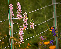 Pink Larkspur. Image taken with a Leica CL camera and 90-280 mm lens.