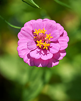 Pink Zinnia. Image taken with a Leica SL2 camera and Sigma 70 mm f/2.8 macro lens