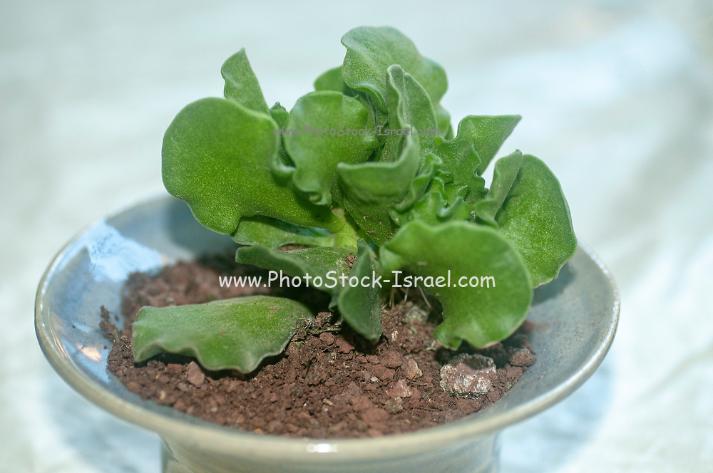 Adromischus cristatus, is a species of succulents from the Crassulaceae family, endemic to the eastern cape of South Africa. It is a perennial with short erect branches 20–50 mm long covered with fine aerial roots.