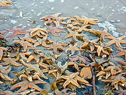 Vast numbers of starfish washed up on Portobello Beach after recent storms.<br /> <br /> © Jon Davey/ EEm