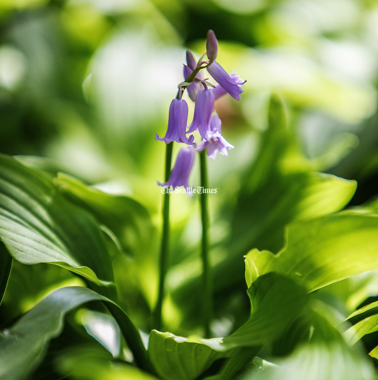 Hosta usually blooms in summer but this one just can't wait at the Seattle Japanese Garden. (Steve Ringman / The Seattle Times)