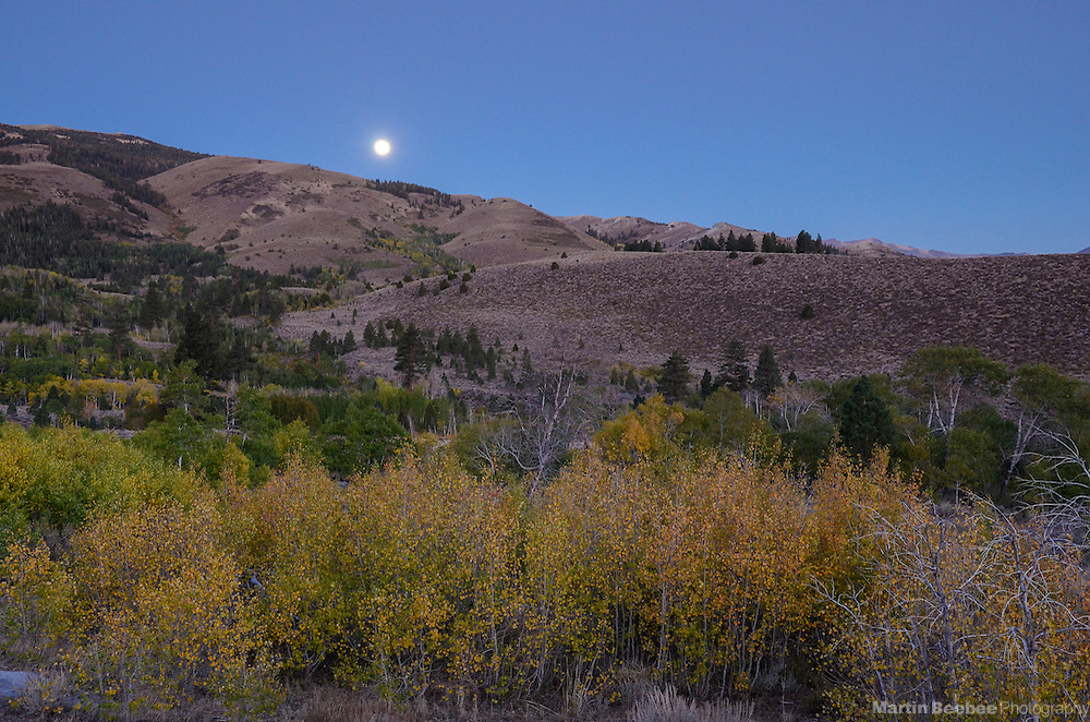 Full moon rising over quaking aspen (Populus tremuloides), fall, Toiyabe National Forest, California